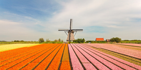 holland windmill: Blooming Dutch field with colorful tulips in front of an old historical windmill