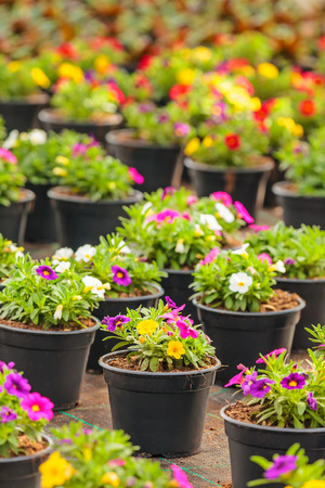 violas: Potted blooming violas with different colors in a Dutch greenhouse Stock Photo