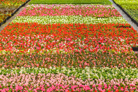 flower nursery: Rows of colorful blooming violas in a Dutch greenhouse Stock Photo