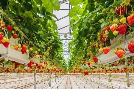 Industriële groei van aardbeien in een Nederlandse kas Stockfoto - 42020068