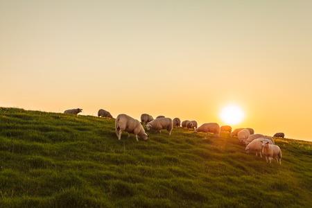 フリージアの州で日没時にオランダの堤防の上の羊の群れ