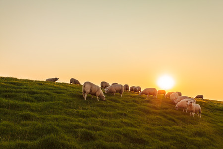 Sheep herd on a Dutch dike during sunset in the province of Frisia