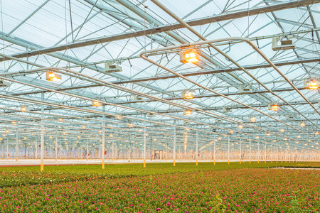indoor plants: Industrial growth of pink roses in a Dutch greenhouse