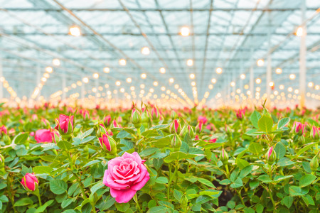 El crecimiento industrial de rosas rosadas en un invernadero holandés Foto de archivo