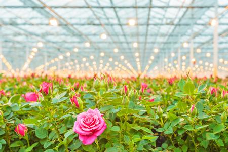 anuncio publicitario: El crecimiento industrial de rosas rosadas en un invernadero holandés Foto de archivo