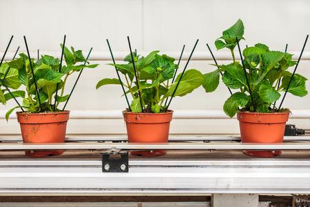 Hydrangea plants on a conveyor belt in a Dutch greenhouse