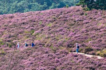 posbank: RHEDEN, THE NETHERLANDS - AUGUST 13, 2015: Hiking tourists on a hill with blooming heath in Dutch national park Veluwezoom in Rheden, The Netherlands
