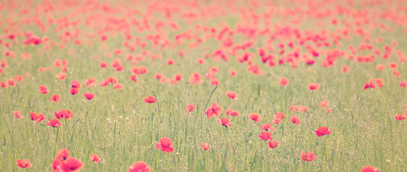 vintage landscape: Panoramic retro styled image of a field with red blooming poppies