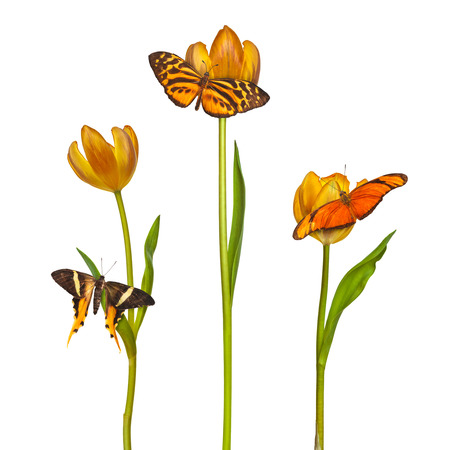 retro styled: Retro styled image of three butterflies with three orange tulips isolated on a white background