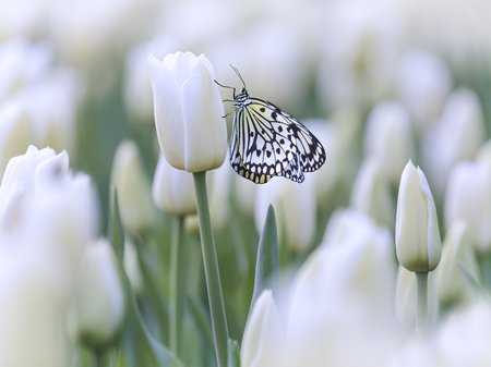 White butterfly in a field with white tulips