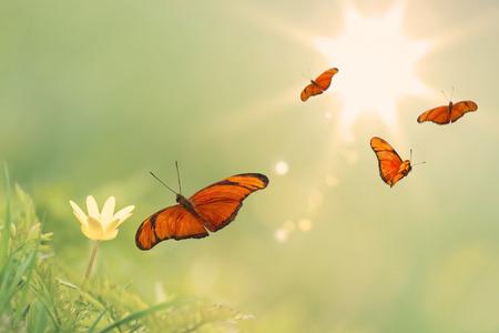 日当たりの良い背景を持つ黄色のキンポウゲの周りのオレンジ色の蝶の飛翔