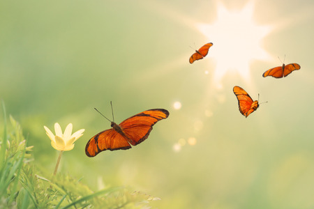 Flying orange butterflies around a yellow buttercup with a sunny background Stockfoto