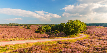 posbank: Panoramic image of blooming heathland with road at the Veluwe national park in The Netherlands Stock Photo