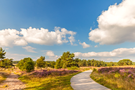 holland: Blooming heathland with hiking and bicycle trail in national park The Veluwe in The Netherlands