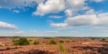 veluwe: Panoramic image of blooming heathland at the Veluwe national park in The Netherlands Stock Photo