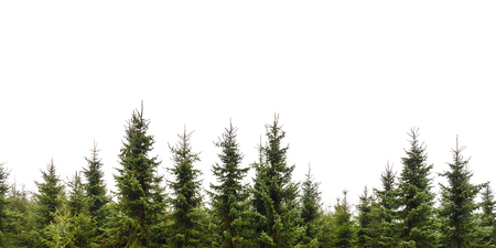 conifers: Row of Christmas pine trees isolated on a white background