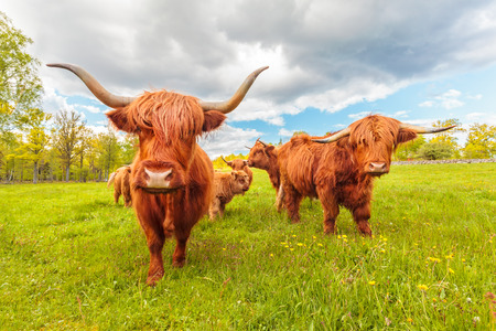 cattle grazing: Highland cattle in the Swedish province of Smaland in summer