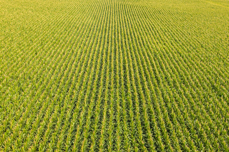 crop harvest: Aerial view of a farm field with rows of corn plants