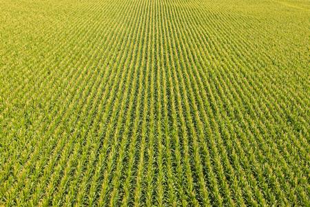 champ de mais: Vue aérienne d'un champ agricole avec des rangées de plants de maïs Banque d'images