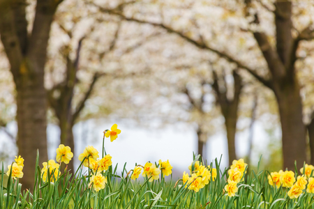 yellow blossom: Row of yellow narcissus in front of a blossom fruit trees in an orchard