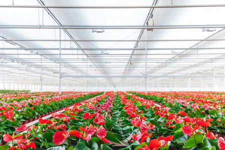 anthurium: Rows of blooming anthurium plants in a greenhouse