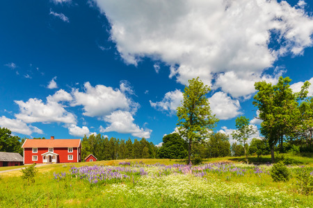 Typical swedish farmhouse in spring with a garden filled with blooming digitalis