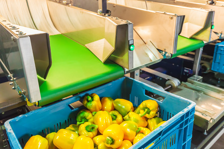 conveyor belt: Sorting of yellow bell peppers on a conveyor belt during harvest