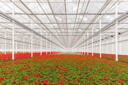 Bloeiende rode geranium planten in een Nederlandse kas Stockfoto