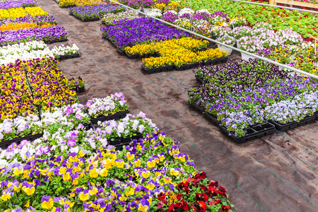 violas: Colorful blooming violas in a Dutch greenhouse
