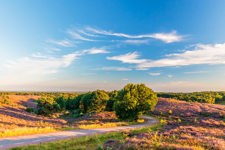 posbank: Blooming heathland with road at the Veluwe national park in The Netherlands