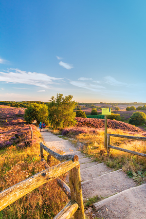 posbank: RHEDEN, THE NETHERLANDS - AUGUST 18, 2016: Autumn view with blooming heathland at national park The Veluwe with people walking by in Rheden, The Netherlands