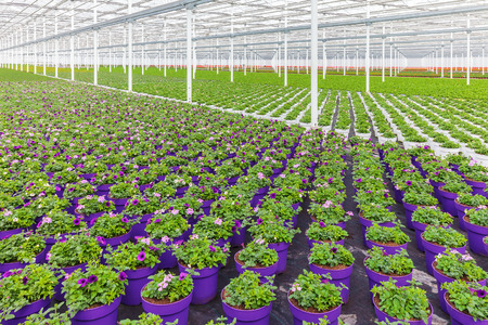 violas: Rows of purple blooming violas in pots in a Dutch greenhouse