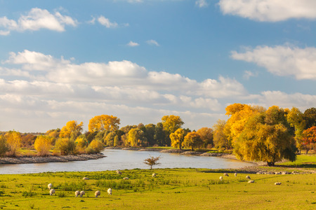 Autumn view of the Dutch river IJssel between Arnhem and Zutphen with sheep in front