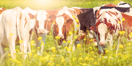 Panoramic image of dutch dairy cows in summer with yellow blossoming flowers in front Stock Photo