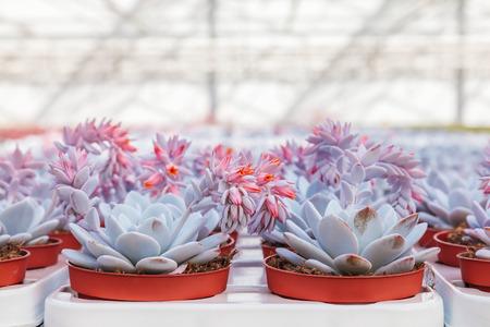 Blooming echeveria cacti plants in a Dutch greenhouse