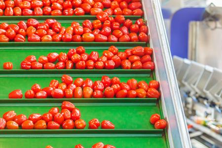 Frische kleine Tomaten auf einem grünen Förderband in einem niederländischen Gewächshaus zur Weiterverarbeitung bereit