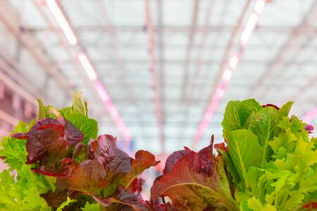 Professional growth of lettuce with pink led lighting in a Dutch greenhouse