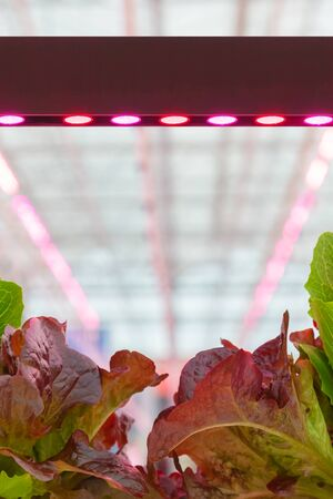 LED lighting used to grow lettuce inside a Dutch greenhouse without the need for sunlight Zdjęcie Seryjne