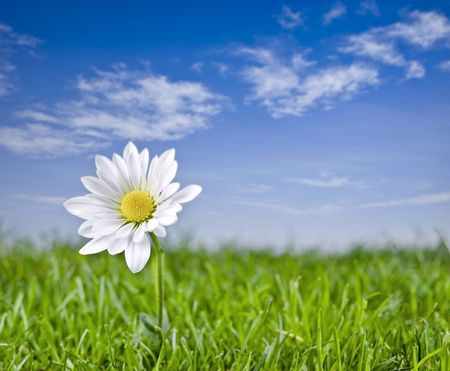 Solitary daisy in spring landscape.