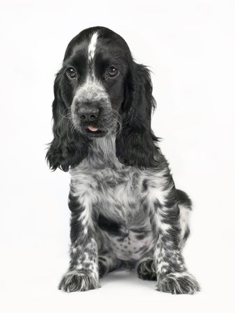 Cocker Spaniel black and white isolated on white