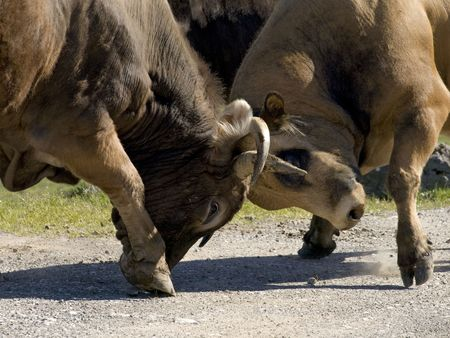 supremacy: Bulls fighting for the supremacy of the herd in epoch of zeal.