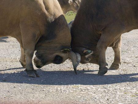 zeal: Bulls fighting for the supremacy of the herd in epoch of zeal.