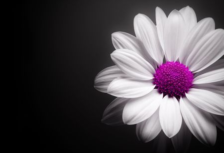 White and pink daisy on black background