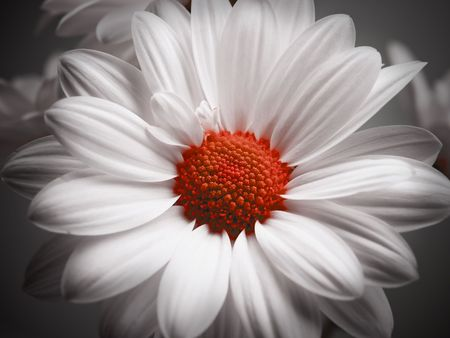 White and red daisy on black background.