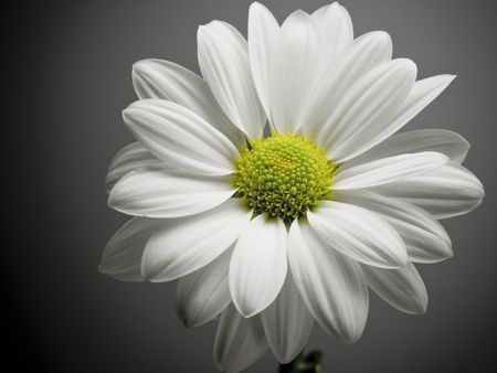 White and yellow daisy on background black.