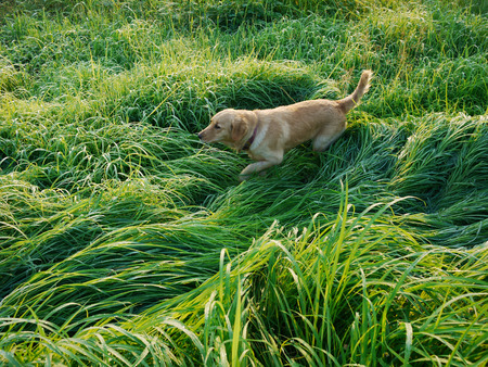 tranquilly: A peaceful rice field and the dog Stock Photo