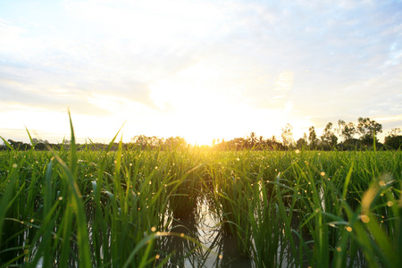 tranquilly: A peaceful rice field on sunrise sky background Stock Photo