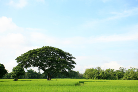 tranquilly: A tree in the rice field Stock Photo