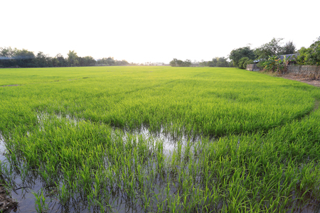 tranquilly: A peaceful rice field on sunset sky background Stock Photo
