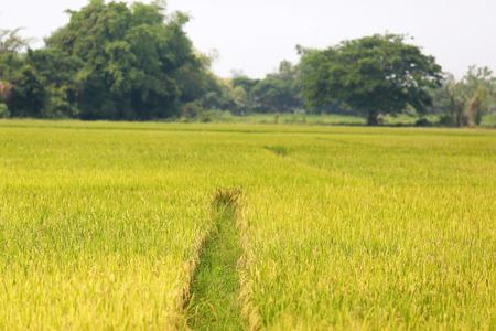 tranquilly: Rice field in Thailand